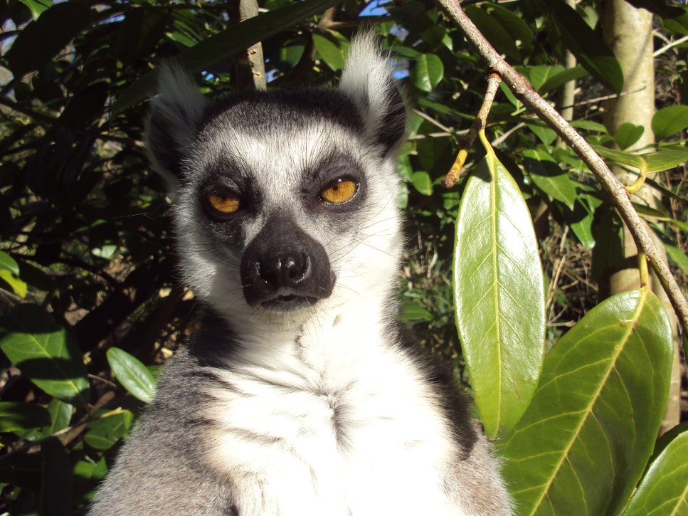 Lemur sass and sarcasm